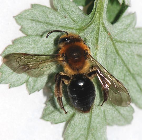 Mining Bee - Andrena dunningi - female