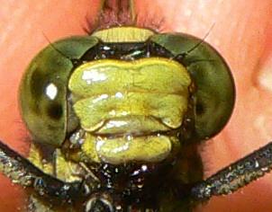 Skillet Clubtail - Gomphurus ventricosus - male