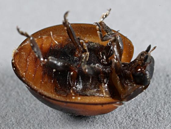 Coccinellidae - Brumus quadripustulatus