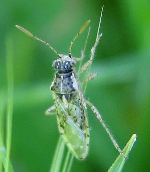ID for possible Rhopalid in CA? - Brachycarenus tigrinus