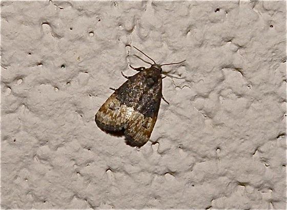 Small moth - Ozarba propera