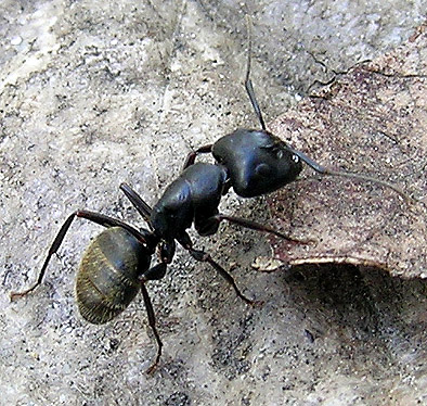 Carpenter Ant - Camponotus pennsylvanicus