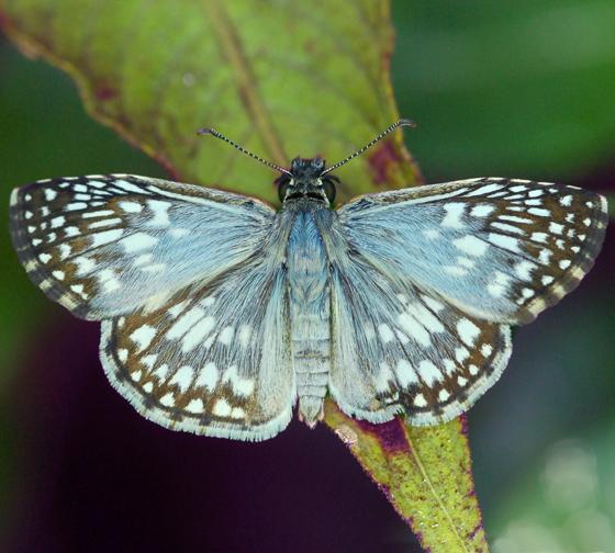 skipper - Pyrgus oileus - male