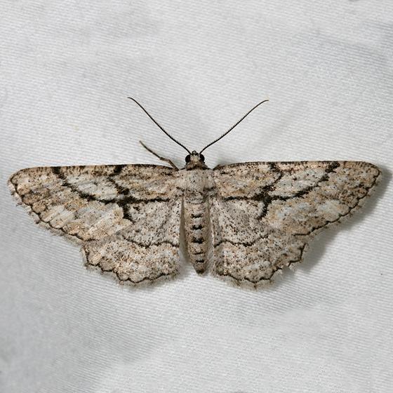 moth - Pterotaea cariosa