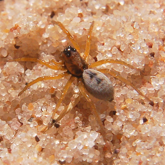 Burrowing Wolf Spider - Geolycosa wrighti