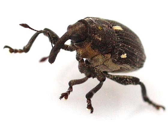 beetle - Glocianus punctiger