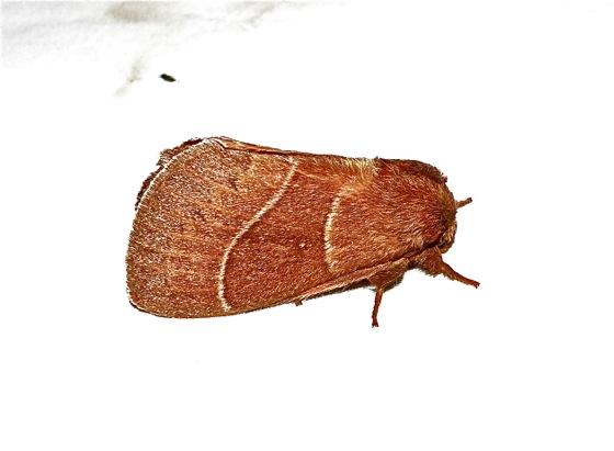 Red Moth - Dicogaster coronada