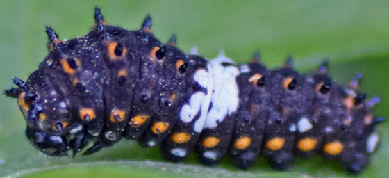 Caterpillar (Black swallowtail?) - Papilio polyxenes