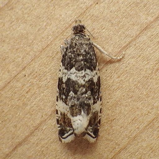 Tortricidae: Orthotaenia undulana?
