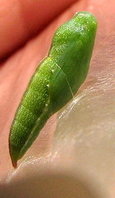 Dainty Sulphur Butterfly  - Nathalis iole