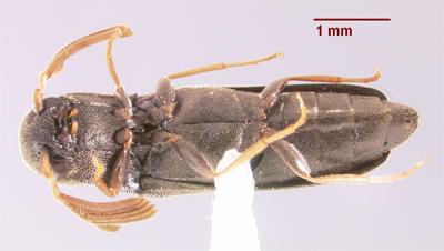 Isoriphis obliqua - Isorhipis obliqua - male