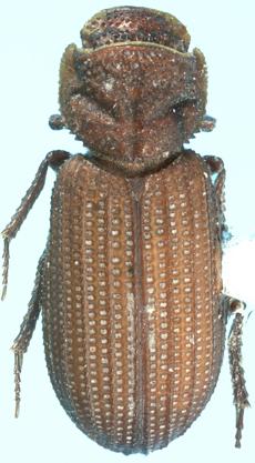 Annegialia ataeniformis Howden - Annegialia ataeniformis