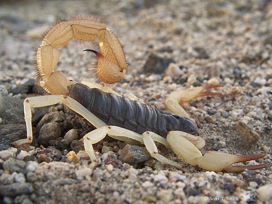 Hairy scorp desert