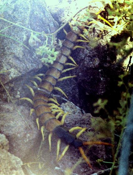 Monster centipede (crawling away) - Scolopendra heros