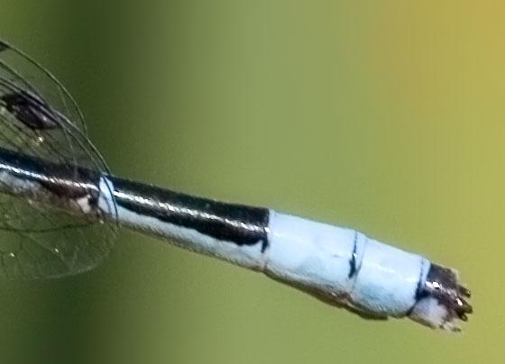 Bluet on Cattail - appendage detail - Enallagma ebrium - male
