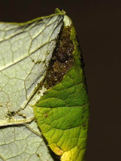 pupa - July 31 - Mythimna unipuncta