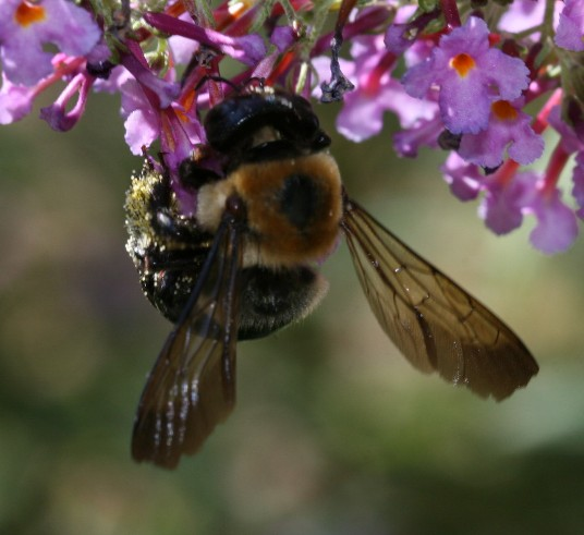 Xylocopa virginica virginica - Xylocopa virginica - female