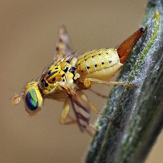 Tephritid Fruit Fly #2 - Chaetorellia succinea - female