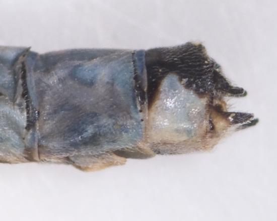 Hagen's Bluet, closeup of claspers - Enallagma hageni - male