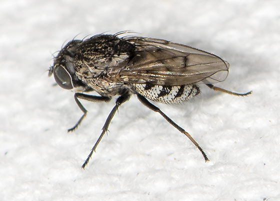 Fly ID request - Paralimna punctipennis