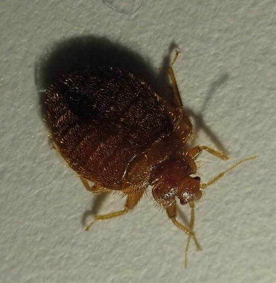 Bat bug or bed bug? - Cimex
