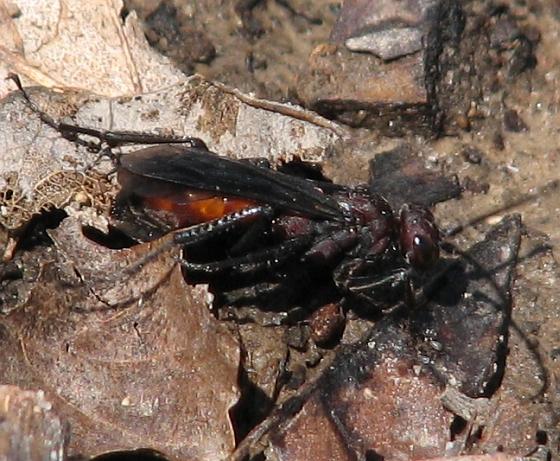P. nigripes - Priocnemis nigripes