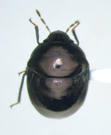 Corimelaena obscura