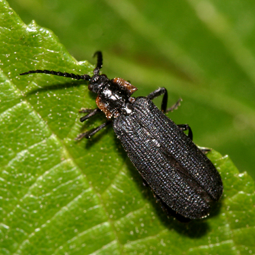 Net-winged Beetle - Plateros