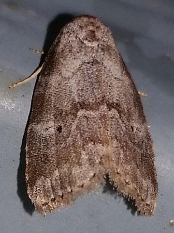 Hyperstrotia pervertens - Dotted Graylet Moth - Hyperstrotia pervertens