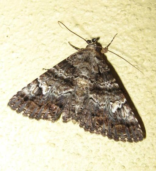 Live Oak Metria Moth - Metria amella