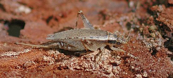 Jumping Bush Cricket - Orocharis saltator - female
