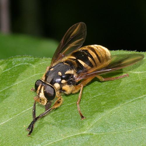 Yellowjacket Mimic - Temnostoma alternans - female