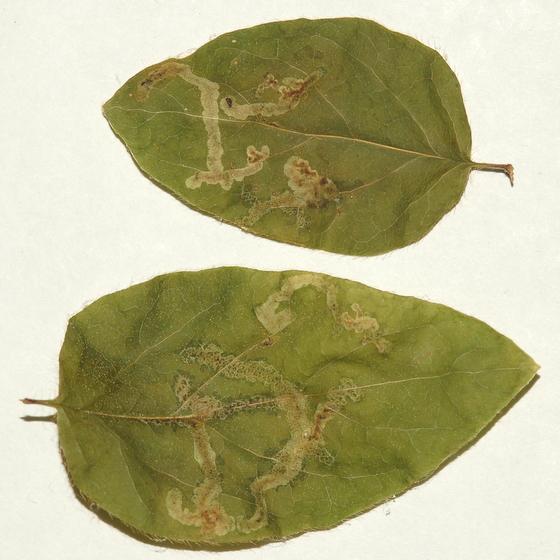 Agromyzid leaf mines in American fly honeysuckle - Aulagromyza luteoscutellata