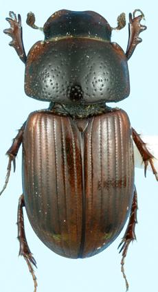 Geomyphilus insolitus (Brown) - Aphodius insolitus
