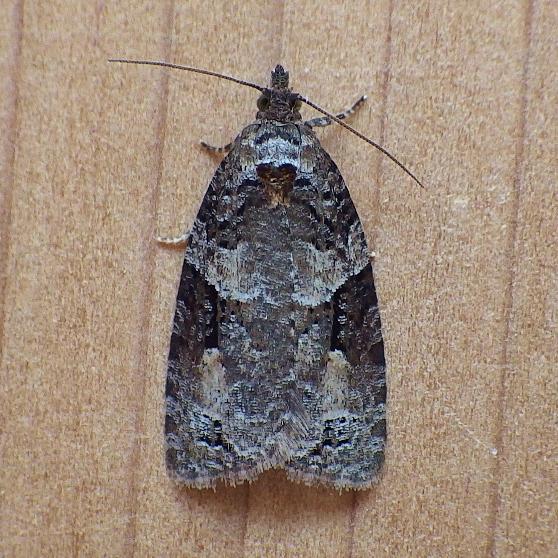 Tortricidae: Apotomis infida - Apotomis infida
