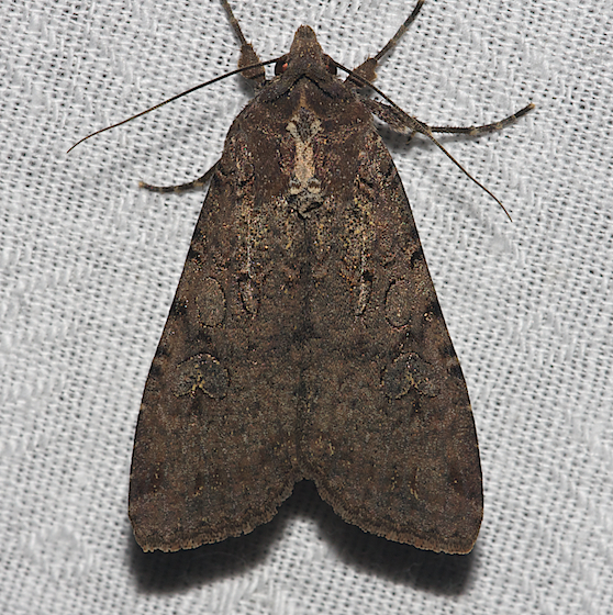 Pearly Underwing - Hodges#10915 - Peridroma saucia