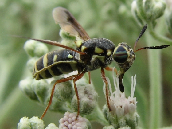 soldier fly - Hoplitimyia constans - female