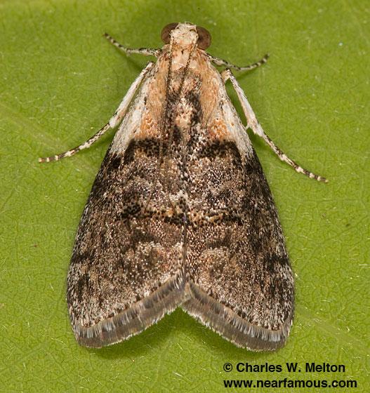 Similar to Pococera expandens 5608