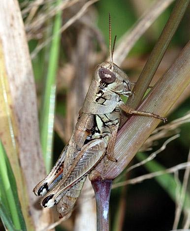 Acrididae - Melanoplus cameronis - female