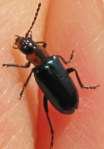 leaf beetle - Pseudoluperus maculicollis