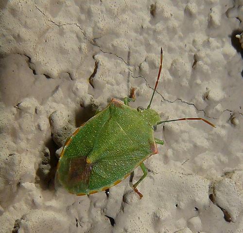 Green Stink Bug - Thyanta? - Thyanta custator