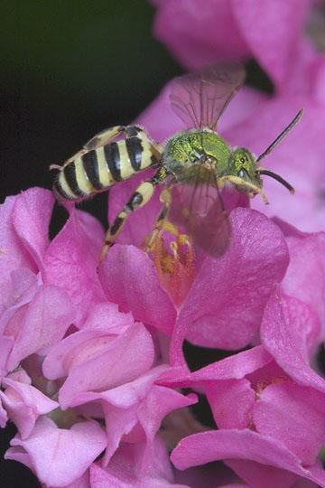 Metallic green bee - Agapostemon splendens - male