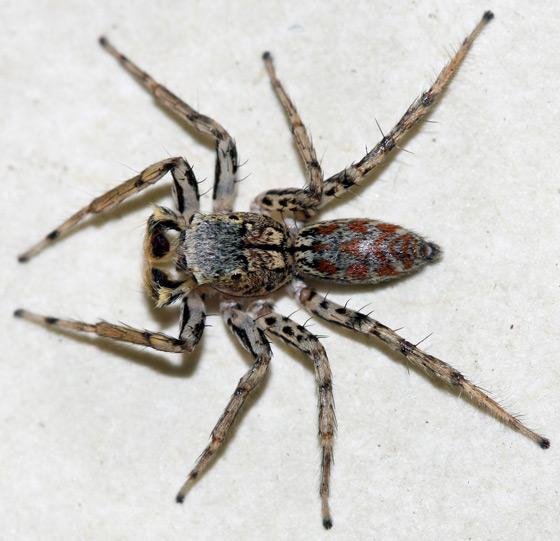 Maevia inclemens - male