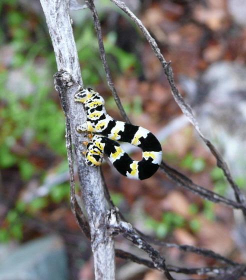 Arizona caterpillar - Meris paradoxa