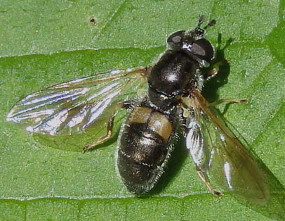 unknown fly - Pipiza