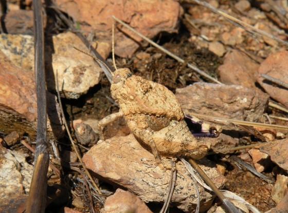 Chihuahua Lubber - Phrynotettix tshivavensis - male