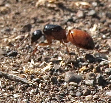 Found these in arid land along Columbia River near Goldendale Wa.  Saw three in area covering about five acres.      - Camponotus
