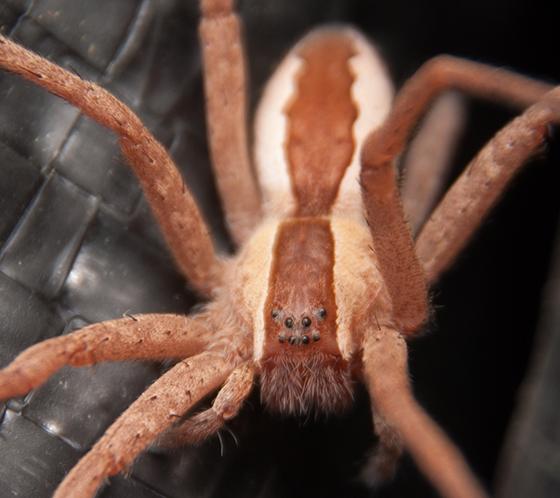 Pisaurina mira (female) - Pisaurina mira - female
