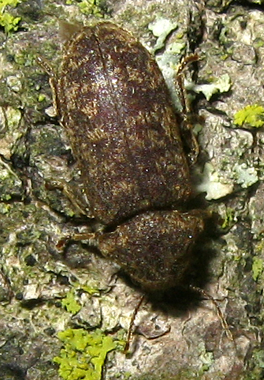 Death-Watch Beetle - Xestobium rufovillosum