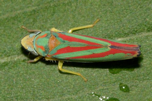 Leafhopper - Graphocephala teliformis